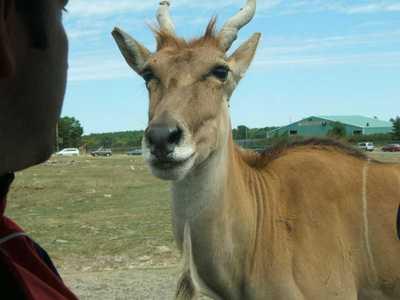 Friendly_antelope