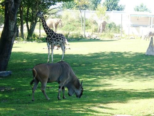 elephants! lions! zebras! GIRAFFES!